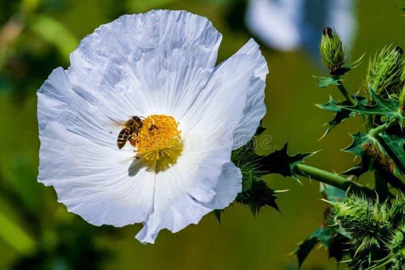 Close-up van Honey Bee op Witte Stekelige Poppy Wildflower Bloss stock afbeeldingen