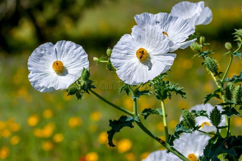 Close-up van Honey Bee op Witte Stekelige Poppy Wildflower Bloss royalty-vrije stock foto's