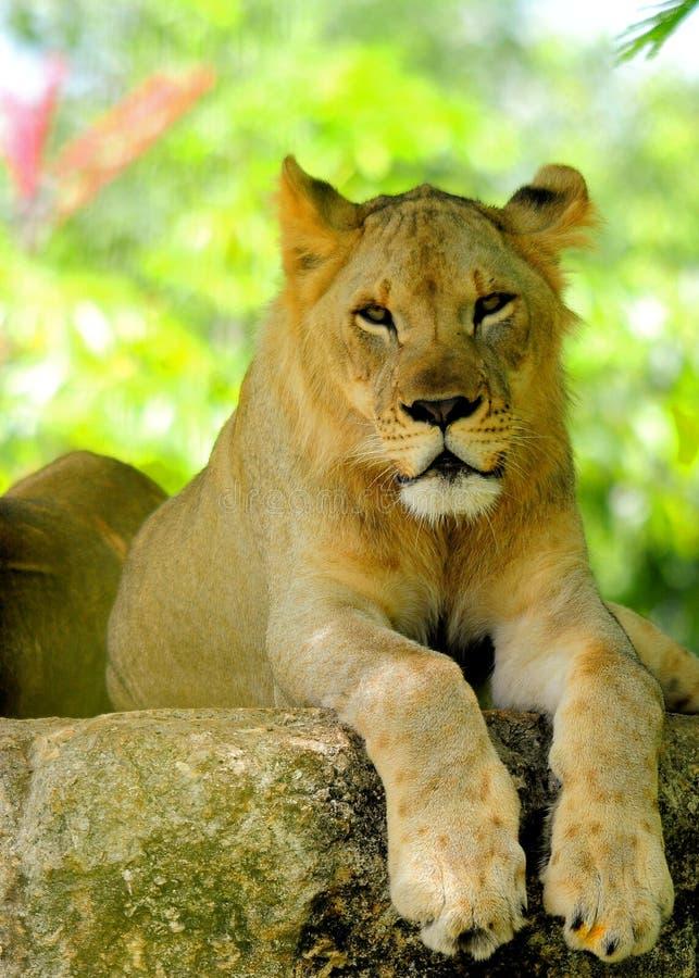 Close-up van jonge Afrikaanse leeuw stock foto