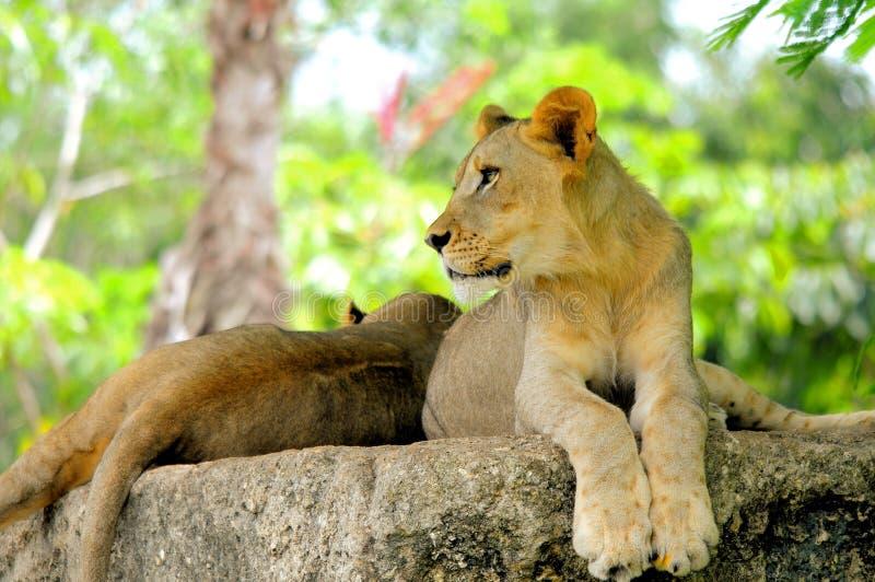 Close-up van jonge Afrikaanse leeuw die weg eruit zien stock fotografie