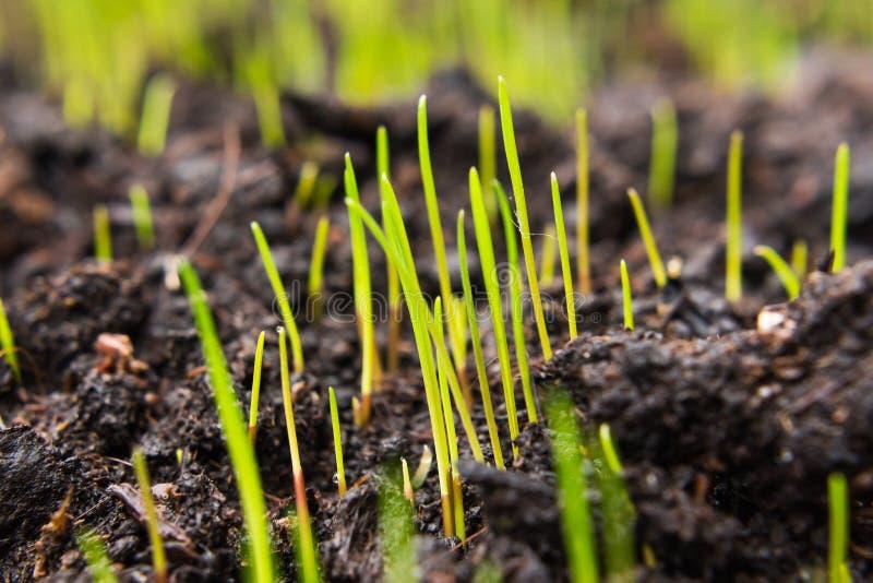 Close-up van jonge groene graszaden die op nieuwe bovenkant beginnen te groeien stock foto's