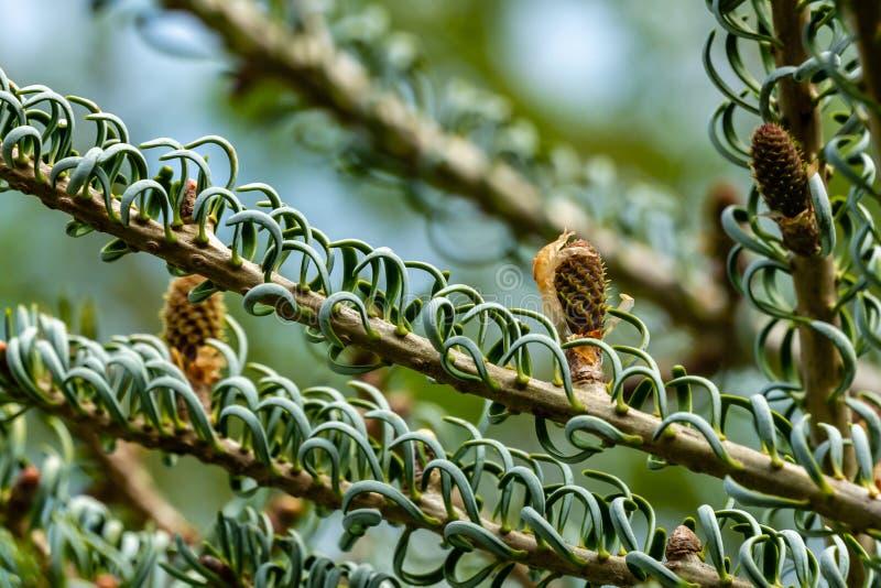 Close-up van jonge pinecones op de takken van sparabies koreana Silberlocke op blauwe hemelachtergrond Zonnige dag stock foto's