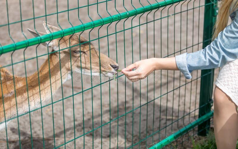 Close-up van jonge vrouw die mooie leuke damhinde in dierentuin voeden royalty-vrije stock foto's