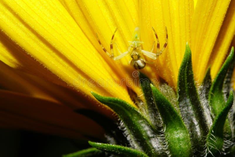 Close-up van Kaukasische jonge spin-krab met binnen cicade op geel royalty-vrije stock afbeeldingen