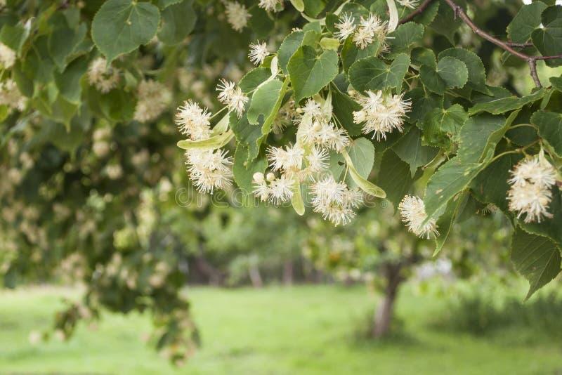 Close-up van klein-leaved Kalk verse bloemen voor kruiden gezonde thee stock foto's