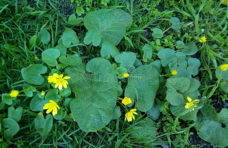 Close-up van kleine gele bloemen met grote groene bladeren stock foto