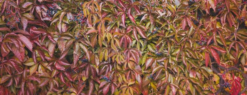 Close-up van kleurrijke de Druivenbladeren van Autumn Wild, de Achtergrond van Halloween van het Dalingsseizoen, banner royalty-vrije stock fotografie