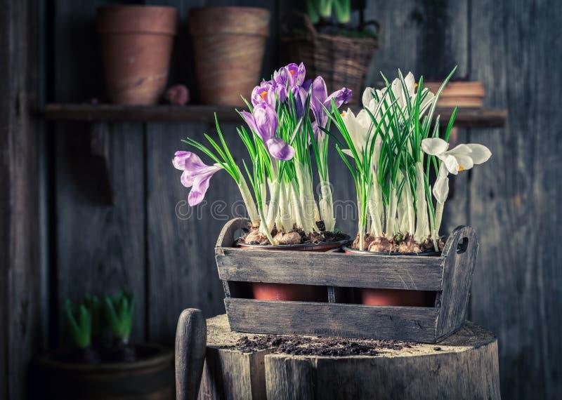 Close-up van kleurrijke hyacint in een oude houten doos stock foto's