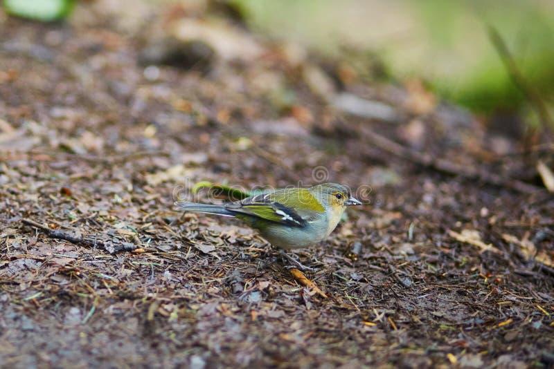 Close-up van kleurrijke Madeiran vink, vogel endemisch aan Madera royalty-vrije stock afbeelding