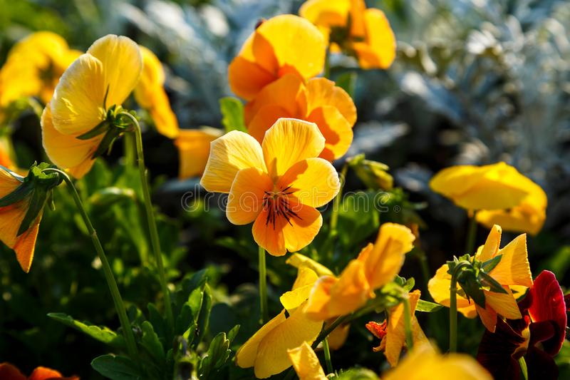 Close-up van kleurrijke oranje het viooltjebloemen van het bloesemkoraal in het park Pansies is installaties voor tuin worden gec stock foto