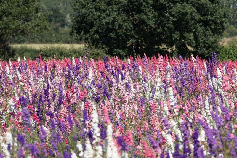 Close-up van kleurrijke riddersporen op een gebied bij Wiek, Pershore, Worcestershire, het UK De bloemblaadjes worden gebruikt om stock fotografie