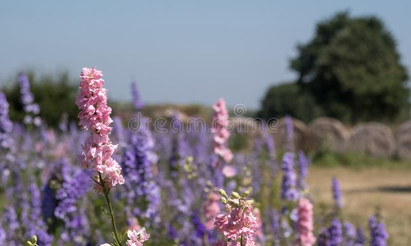 Close-up van kleurrijke riddersporen op een gebied bij Wiek, Pershore, Worcestershire, het UK De bloemblaadjes worden gebruikt om stock afbeelding