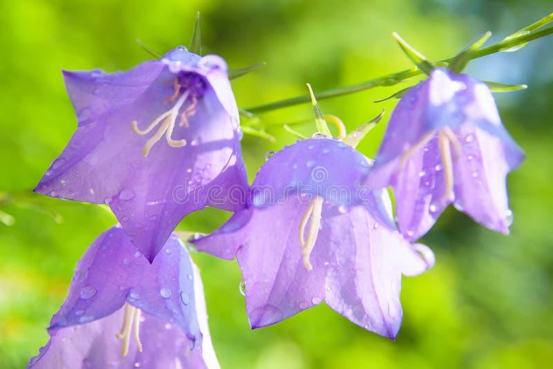 Close-up van Klokje klok-fowers op kleurrijke achtergrond Bokeh B stock fotografie