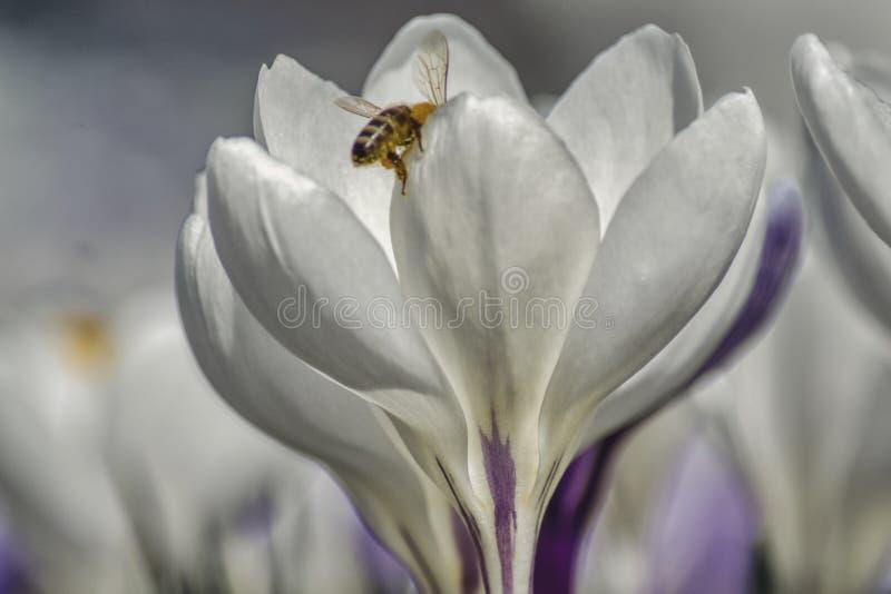 Close-up van krokus en bijen royalty-vrije stock afbeeldingen
