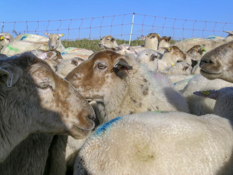Close-up van kudde van schapen, veel schapen met gekleurde verftekens voor een omheining van kabel, en een blauwe hemel stock afbeeldingen