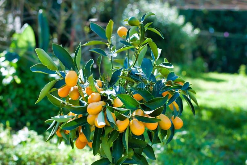 Close-up van kumquat op de installatie stock foto