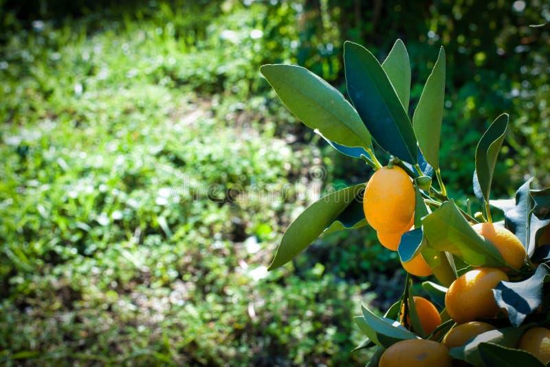 Close-up van kumquat op de installatie stock afbeelding