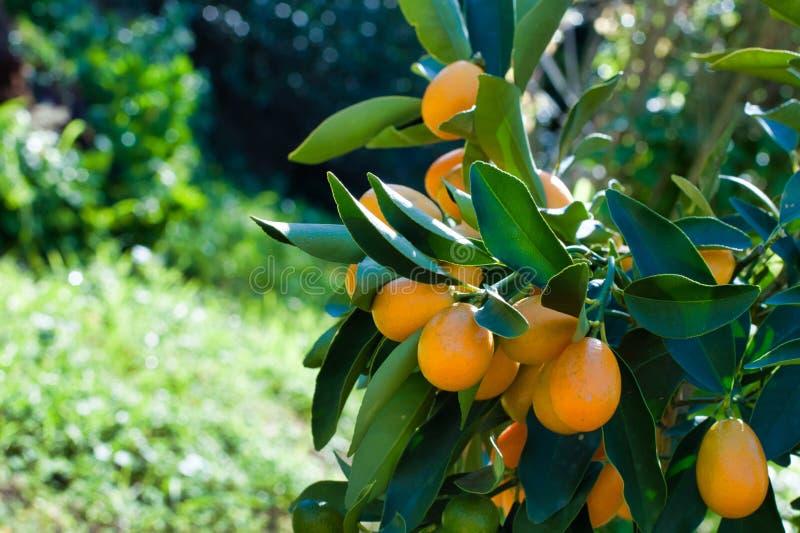 Close-up van kumquat op de installatie stock afbeeldingen
