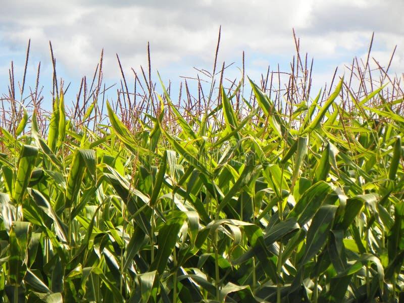 Close-up van lange rechte zoete maïsstelen tegen blauw en wh royalty-vrije stock foto