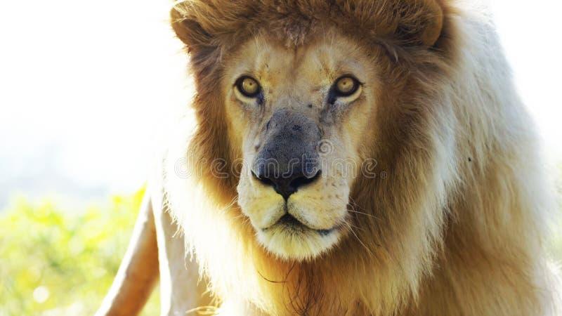 Close-up van leeuw, Panthera-leo, 8 jaar oud, voor witte achtergrond stock foto