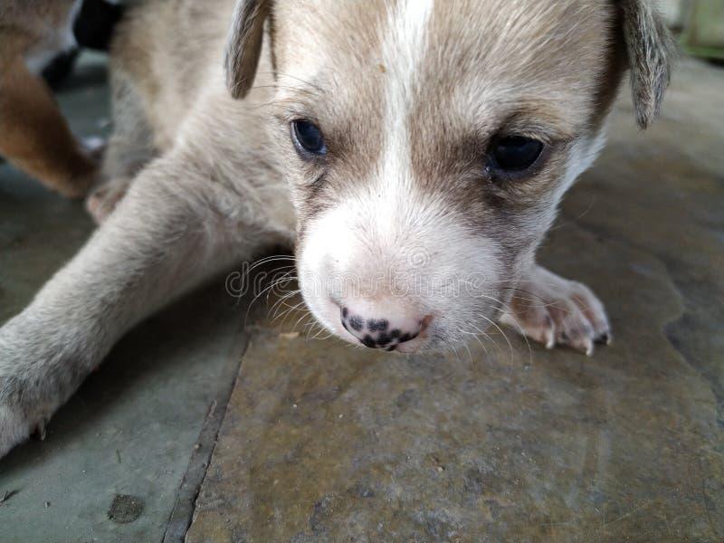 Close-up van Leuk bruin wit puppy met blauwe ogen stock afbeelding