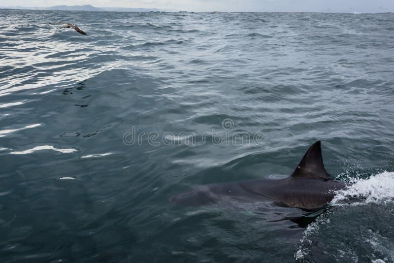 Close-up van lichaam en vin van het grote witte haai zwemmen royalty-vrije stock afbeelding