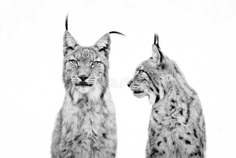 Close-up van lynx die op een andere van kant letten royalty-vrije stock afbeelding