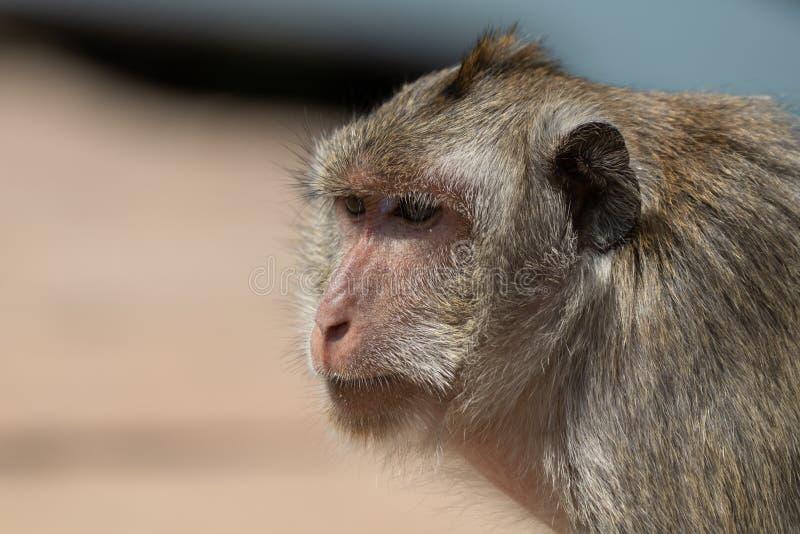 Close-up van macaqueschouders en hoofd met lange staart stock foto's