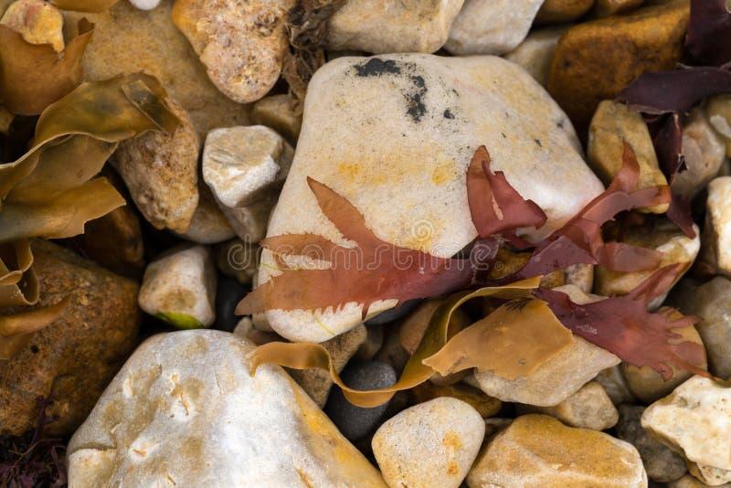 Close-up van mariene algen van de oever die op een steenkiezelsteen liggen purpere rode en gele kleurenbehang of achtergrond stock foto's