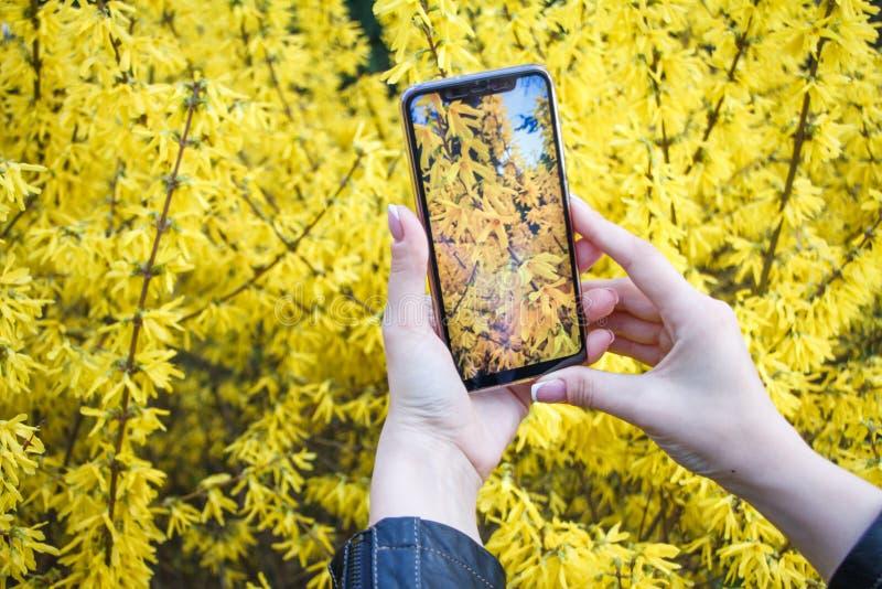 Close-up van meisjeshanden die smartphone houden en beelden van het bloeien forsythia nemen stock afbeeldingen