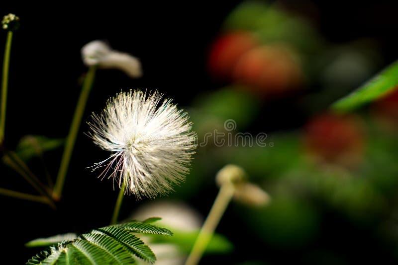 Close-up van Mimosapudica of bescheiden installatie royalty-vrije stock foto's