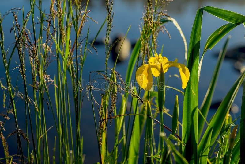 Close-up van mooi geel lis en andere installaties op de rivier vroeg in de ochtend Concept seizoenen, royalty-vrije stock afbeelding