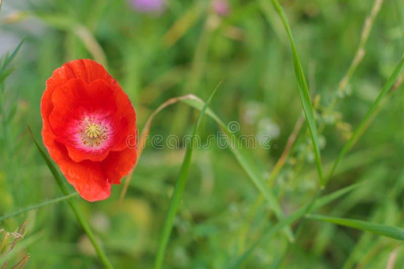 Close-up van mooie één enkele rode papaver op een groene gras bokeh achtergrond De lente, de zomerconcept Kaart met het exemplaar stock foto's