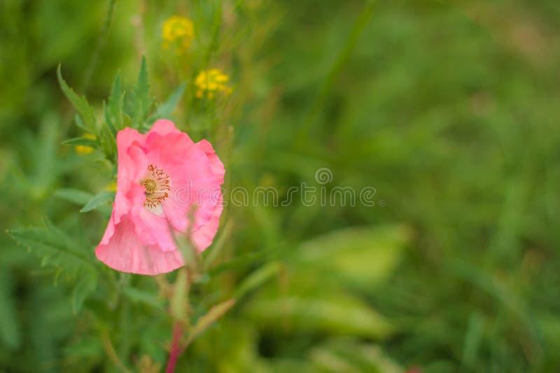 Close-up van mooie één enkele roze papaver op een groene gras bokeh achtergrond De lente, de zomerconcept Kaart met het exemplaar stock afbeeldingen