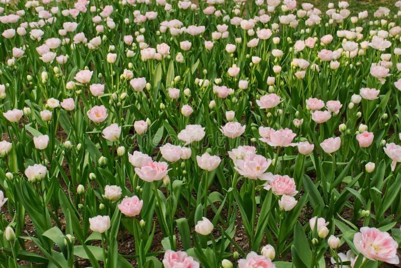 close-up van mooie gevoelige witte en roze pluizige tulpen royalty-vrije stock afbeeldingen
