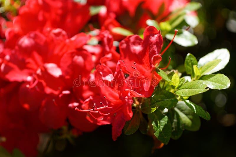 Close-up van mooie rode bloemenazalea die op een zonnige dag bloeien royalty-vrije stock fotografie