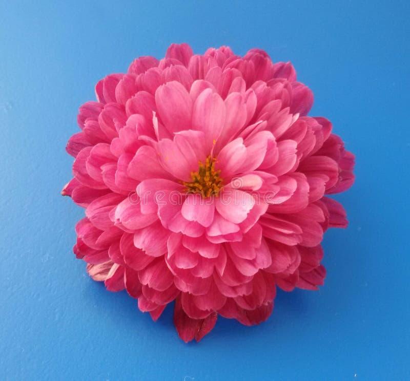 Close-up van mooie roze chrysantenbloem over blauwe achtergrond stock afbeelding