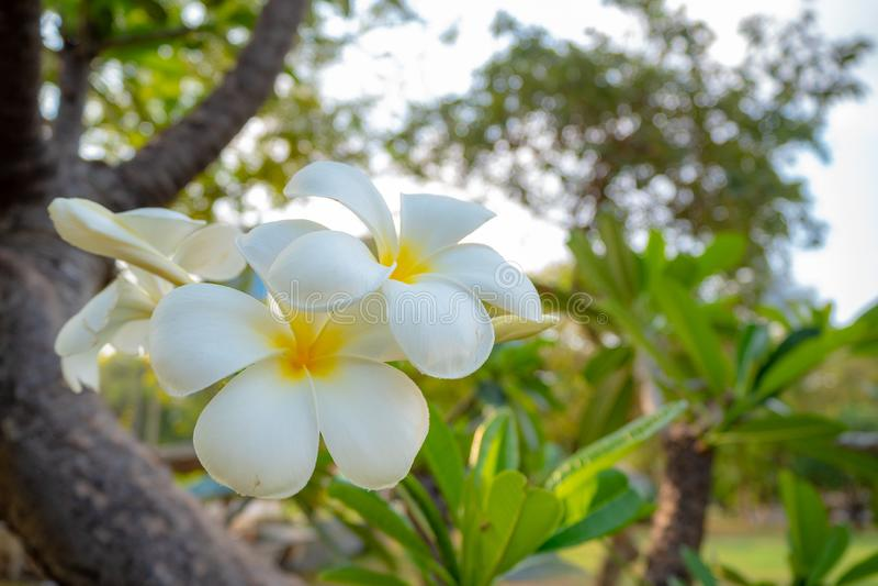 Close-up van mooie witte bloemen in park op vage groene bomenachtergrond royalty-vrije stock foto's