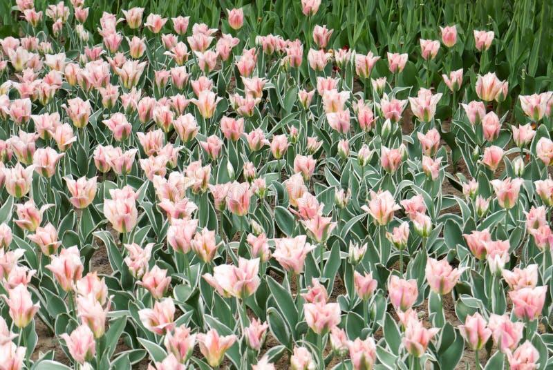 close-up van mooie witte en roze pluizige tulpen royalty-vrije stock afbeeldingen
