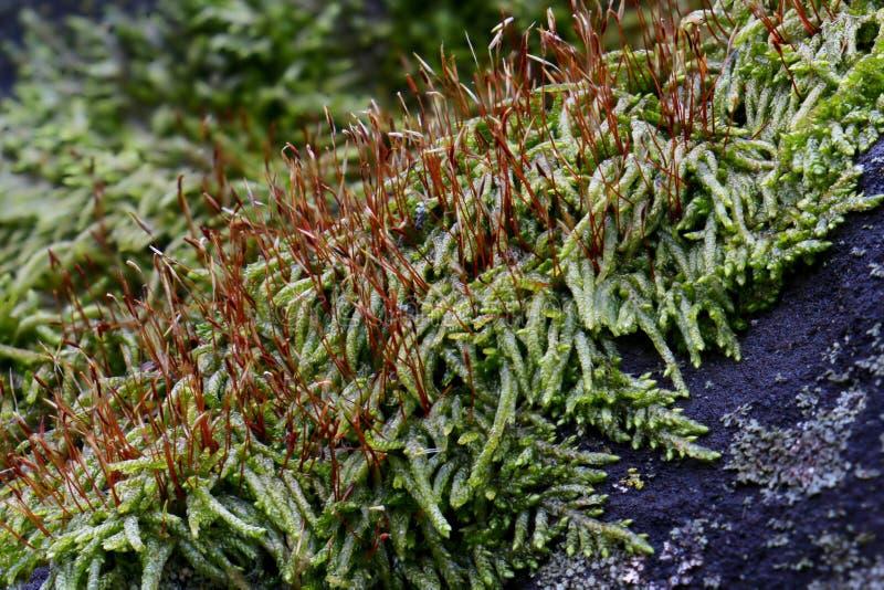Close-up van mos op rots royalty-vrije stock foto's