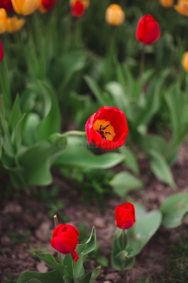 Close-up van multicolored gele en rode tulpenbloemen in het park royalty-vrije stock fotografie