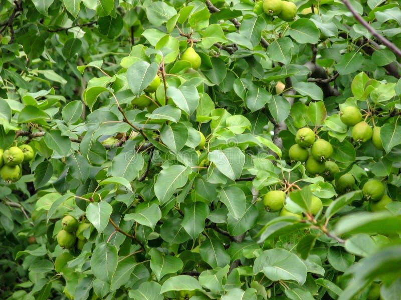 Close-up van onrijpe peren op boomtak met groene bladeren tijdens zomer in Chelyabinsk, Rusland royalty-vrije stock afbeelding