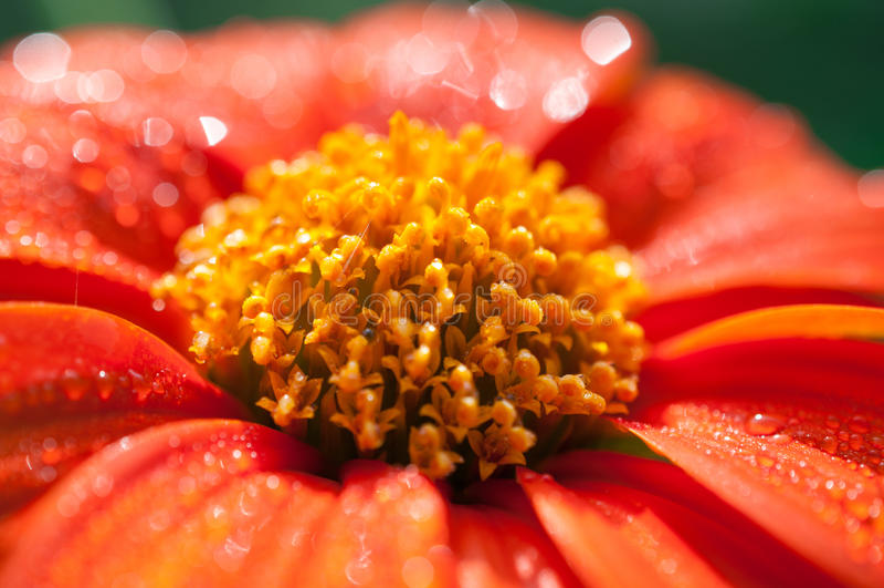 Close-up van oranje bloemen in de tuin/de Macrodalingen van water op oranje bloem in bos royalty-vrije stock foto