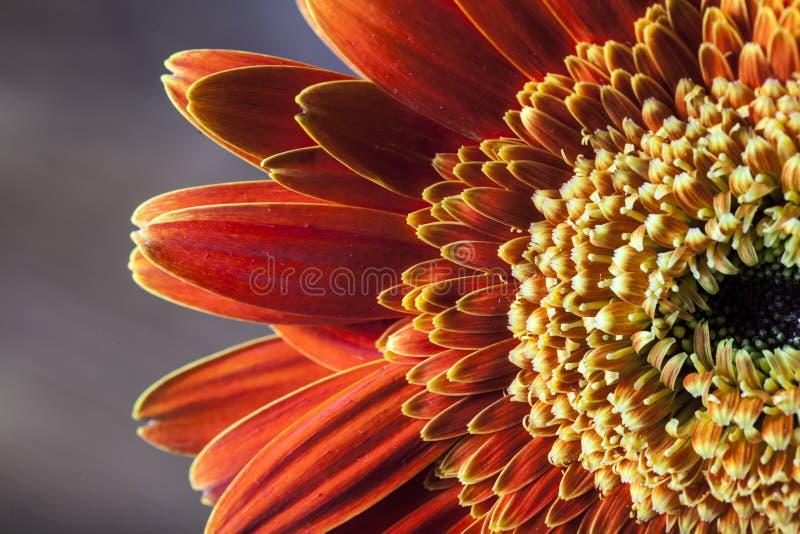 Close-up van oranje gerbermadeliefje stock fotografie