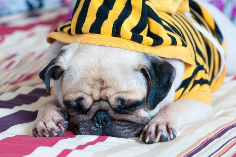 Close-up van oud slaappug puppy met snot van koud slijtage geel Sweatshirt met Kap op bed stock afbeelding
