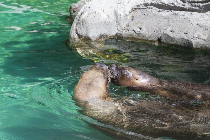Close-up van paar van leuke het kussen zeeleeuwenverbinding in blauw w royalty-vrije stock foto's