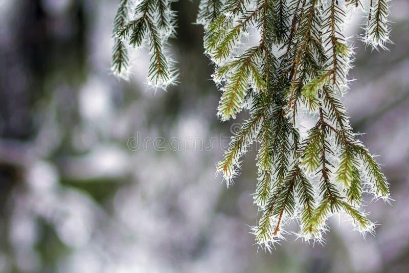 Close-up van pijnboomboom met sneeuwvorst wordt behandeld in de winter die stock afbeelding