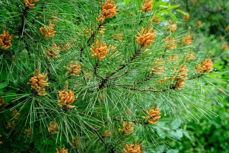Close-up van pinecone van de knoppenbestuiving op takken van Pitsunda-pijnboompinus brutia pityusaon met regendruppels stock afbeeldingen