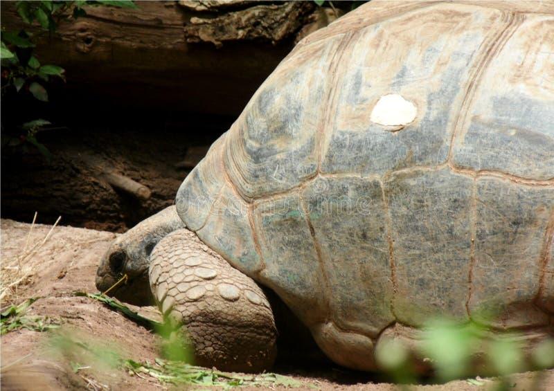 Close-up van profiel van reuzeschildpad die langzaam lopen stock afbeelding