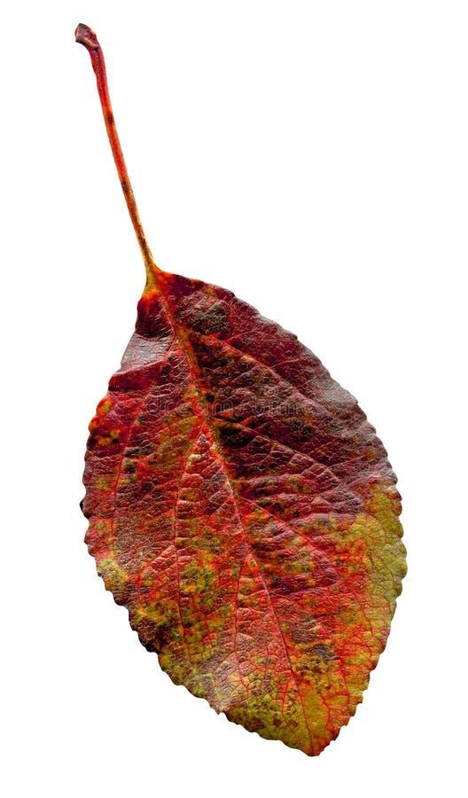 Close-up van pruimblad Rood blad van de geïsoleerde pruimboom royalty-vrije stock afbeeldingen